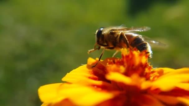 Včela stojí na oranžové květině a myje si nohy, zblízka video.