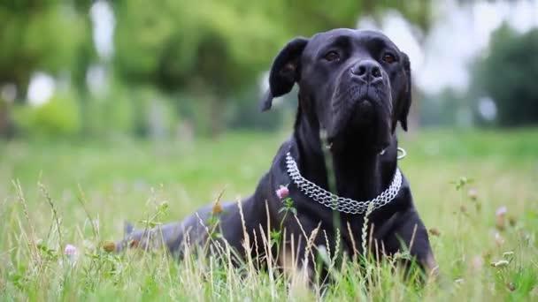 Portré egy gyönyörű kutya Cane Corso keres komolyan a kamerát. Közeli. kutya lány cukornád Corso a területen