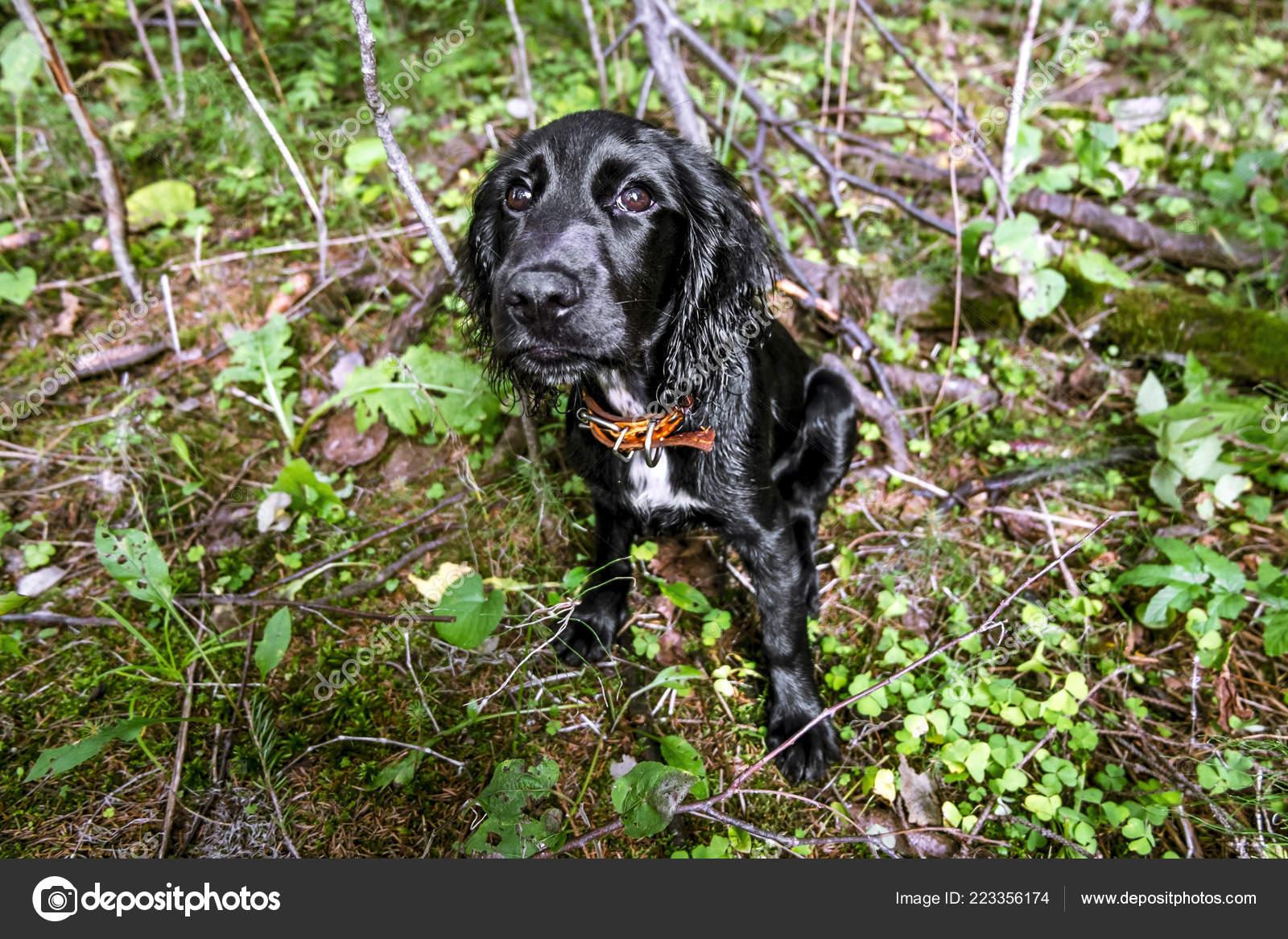Cute Black Cocker Spaniel Puppy Sitting Green Grass Stock Photo C Toshket 223356174