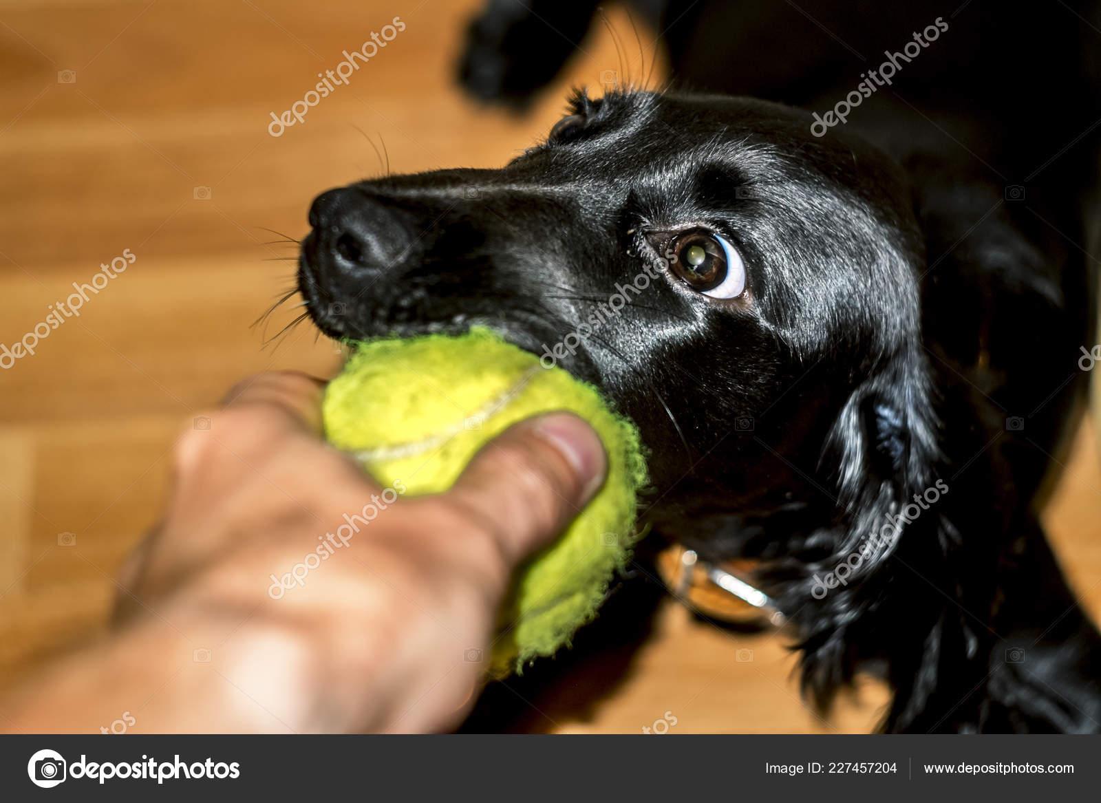 Cute Black Cocker Spaniel Puppy Playing Tennis Ball Stock Photo C Toshket 227457204