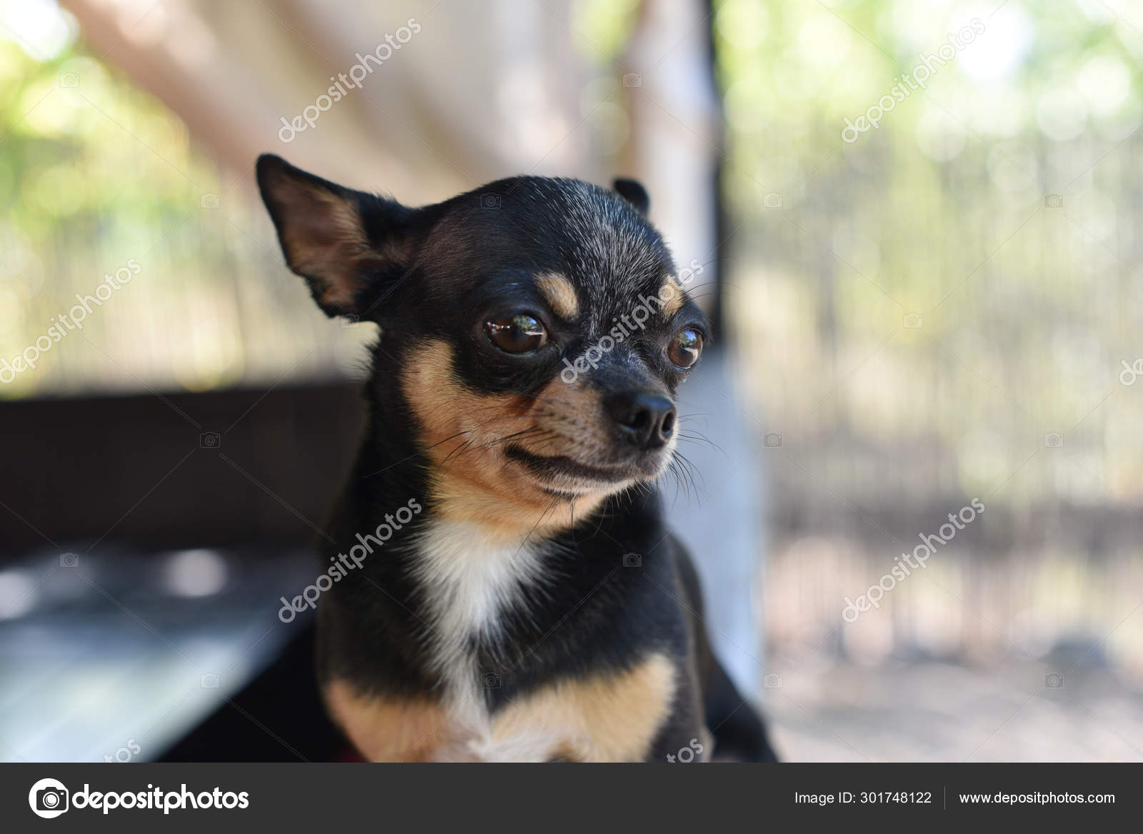 Chihuahua Is Sitting On The Bench The Dog Walks In The Park Black Brown White Color Of Chihuahua Stock Photo C Kapinosova 301748122