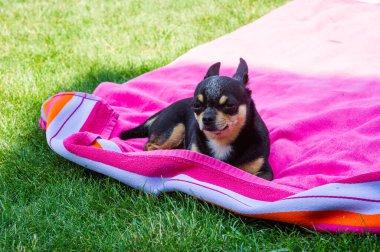 """Картина, постер, плакат, фотообои """"чихуахуа лежит на розовом полотенце. чихуахуа животные домашняя собака. черный дог"""", артикул 404492788"""