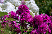 Beautiful purple phlox with white phloxes in the background