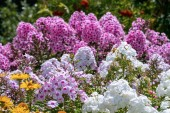 Beautiful white and pink phloxes in full bloom  in a summer gard