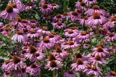 Flower bed with purple coneflowers (echinacea)