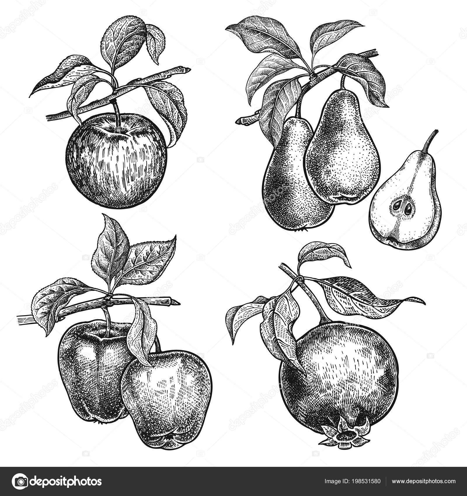 Jablka Granat Hrusky Realisticka Vektorova Ilustrace Rostliny Rucni