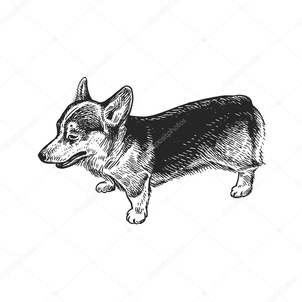 Cute Puppy Home Pet Isolated On White Background Sketch Vector Illustration Art Realistic Portrait Of Animal In Style Vintage Engraving Black And White Hand Drawing Of Dog Breed Corgi Premium Vector