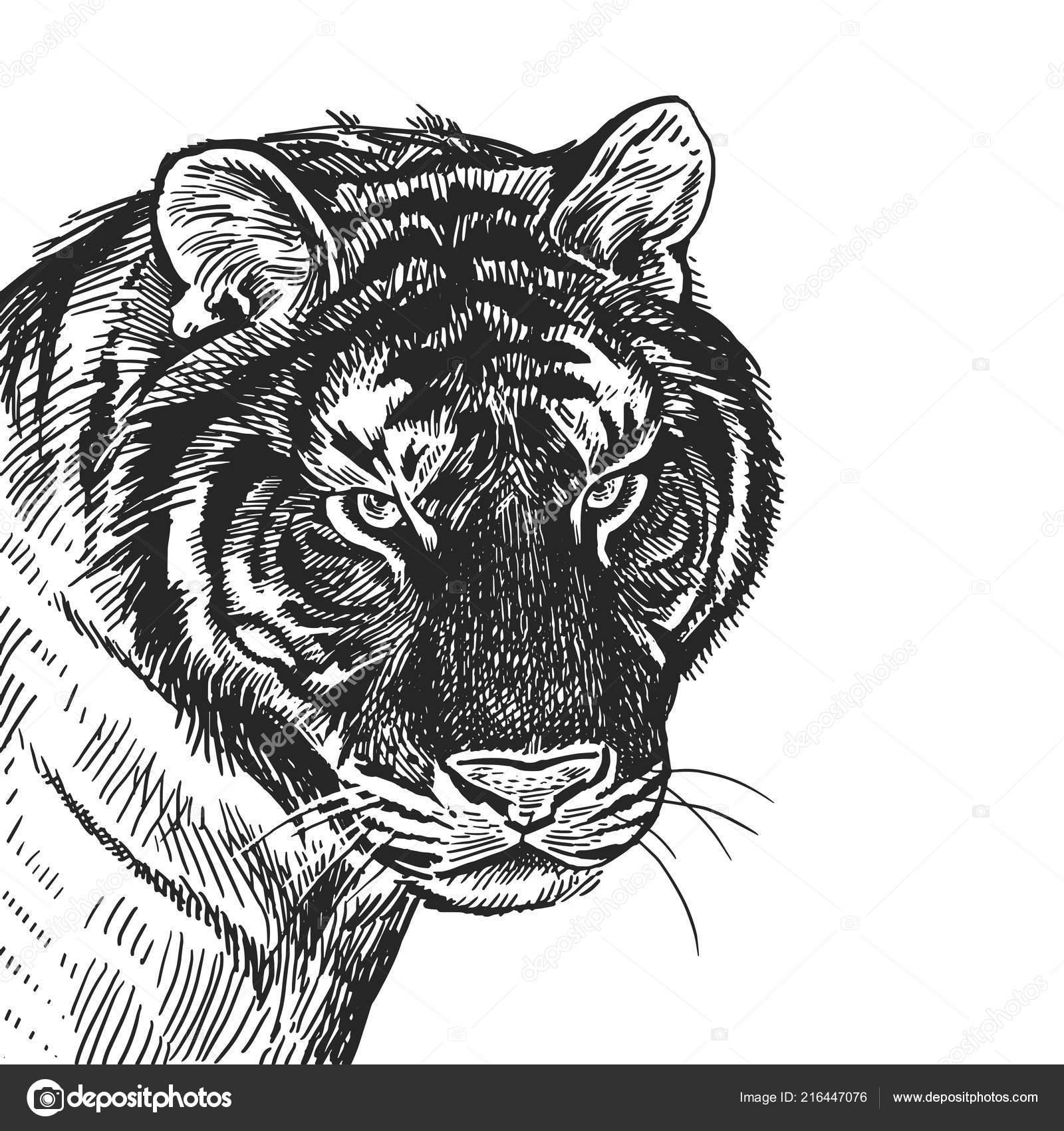 Tigre Portrait Realiste Des Animaux Africain Gravure Vintage Art