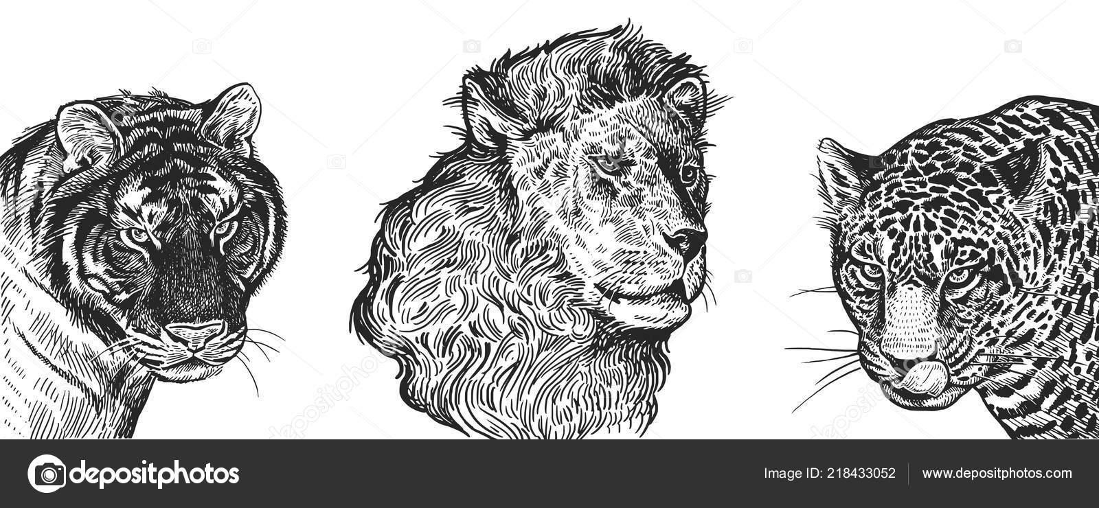 Jeu Lion Tigre Jaguar Portraits Realistes Animaux Afrique Gravure