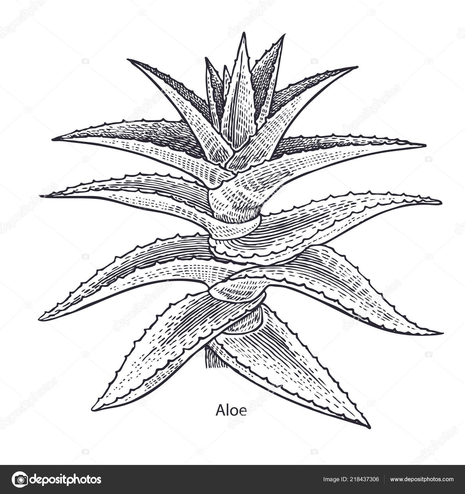 Plante Aloe Vera Herbes Médicinales Plantes Isolées Sur