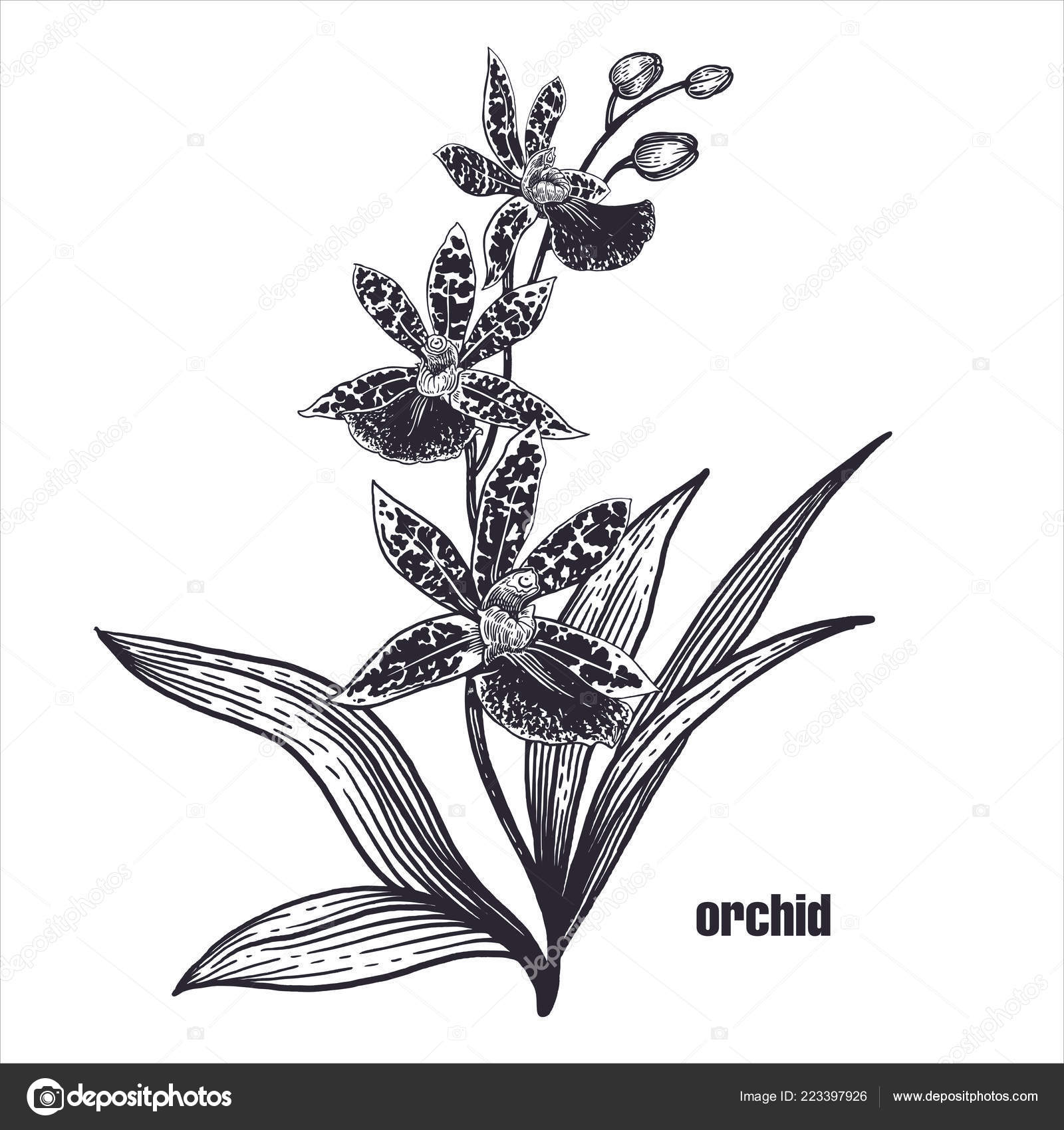 Dessin Réaliste Fleur Orchidée Croquis Sur Fond Blanc