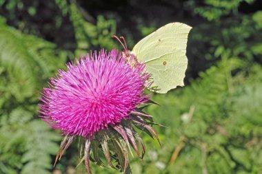 common brimstone moth on a thistle flower