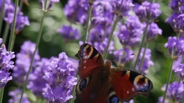 Krásný motýl na levandule