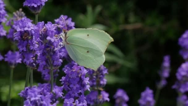 krásný bílý motýl na levandule
