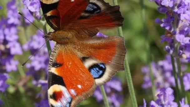 beautiful butterfly on lavender