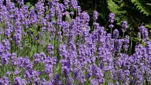 Levandulový květ zblízka v poli v Provence Francie