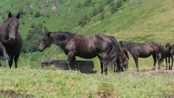 schwarze Pferde weiden auf den Almen, in den Bergen