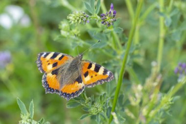 Nymphalis urticae genus Aglais family Nymphalidae. Butterfly Small Tortoiseshell orange with black specks. Butterfly in nature in the meadow.