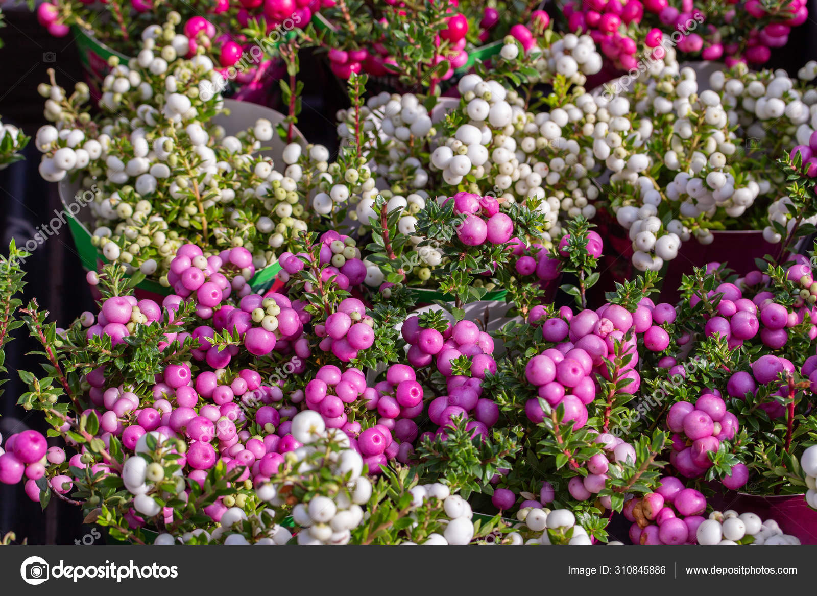 Gaultheria Pernettya.Gaultheria Mucronata Berry Fruit White Pink Purple Pernettya Gaultheria Potted Plant Background Horizontal Vegetable Wallpaper Stock Photo C Olakorica 310845886