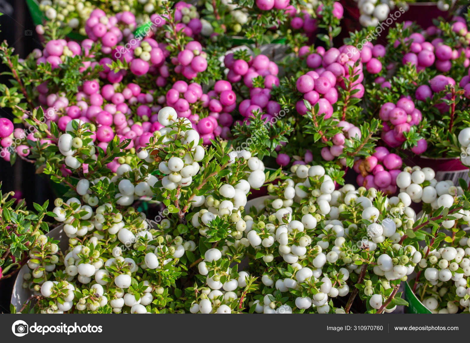 Pernettya Pink.Pernettya Spiky Berry Fruit White Pink Purple Harvest Gaultheria Mucronata Autumn Background Wallpaper Stock Photo C Olakorica 310970760