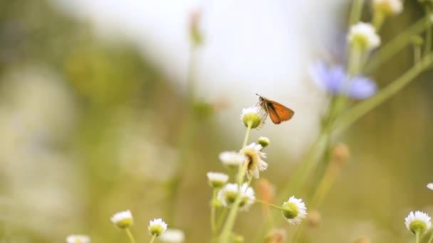 Narancs pillangó ül egy fehér Daisy egy napos nyári napon