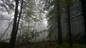 Misty green forest with tall trees