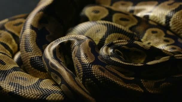 Hadí kůže královská Python ve stínu