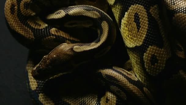 A királyi labdát Python kígyóbőr minta