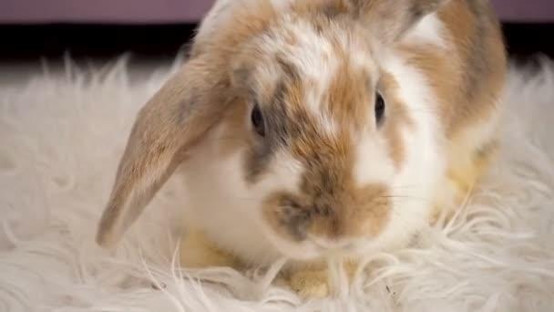 Video of fluffy beige rabbit