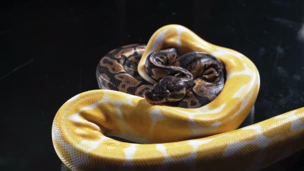 Snake Stock Videos Royalty Free Snake Footages Depositphotos