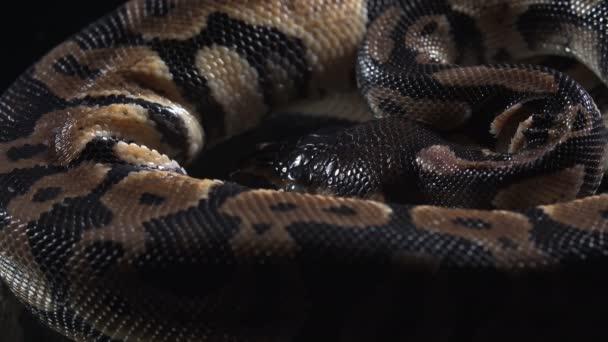 Video z malé koule královské fytonové kůže