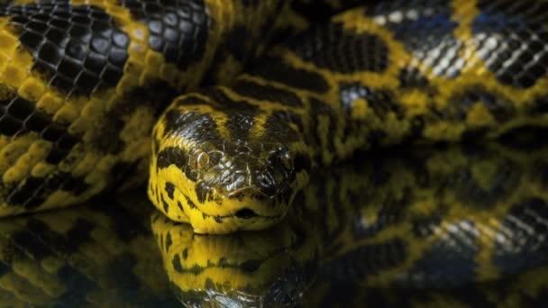 Closeup fényképezés néztem kamera sárga anaconda