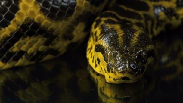Szoros videó a kamera sárga anakonda