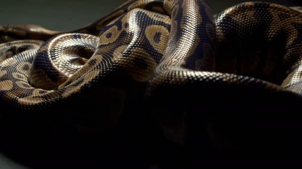 Videó a királyi Python a sötét textúra