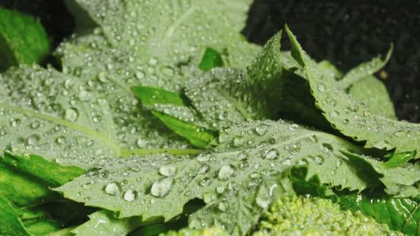 Video von grünen frischen Minzblättern mit Wassertropfen