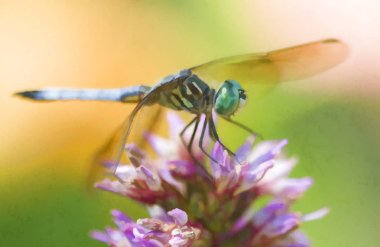Blue Dasher Dragonfly Pachydiplax Longipennis on pink purple flower