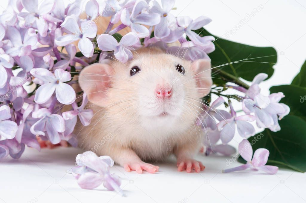 https://st4.depositphotos.com/26207436/28147/i/950/depositphotos_281473134-stock-photo-orange-rat-with-lilac-flowers.jpg