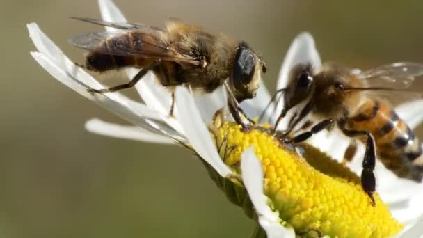 Hmyz, makro. Med a moucha sbírají med na heřmánku.