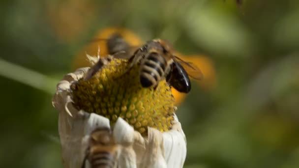 Insekten, Makro. September. Zwei Arten von Honigbienen versuchen, Pollen von einer trocknenden Kamille zu sammeln. Zeitlupe.