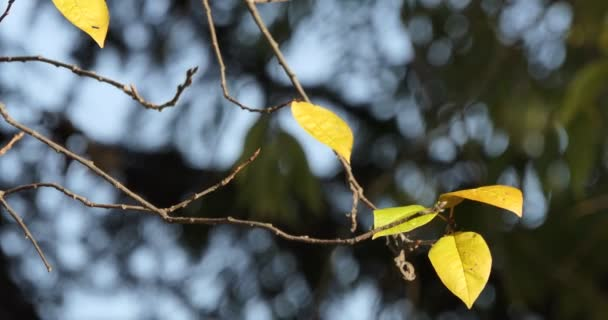 Autumn, Seasons. The yellow leaves on the branch are swaying in the wind.  close - up shooting.