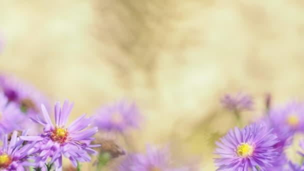 Évszakok, október. Őszi virágok a kertben hintáznak a szélben. Közelről - fényképezés.