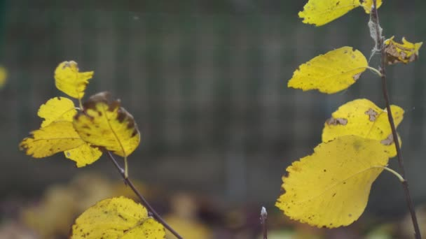 Seasons, October. Withered autumn leaves swaying in the wind on a branch. Close - up shooting.
