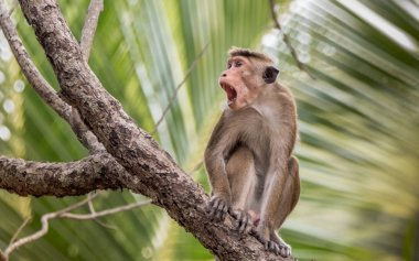 The toque macaque Macaca sinica is a reddish-brown-coloured Old World monkey endemic to Sri Lanka, where it is known as the rilewa or rilawa