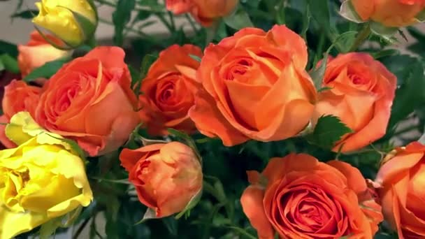 Close up tracking shot of red orange and yellow roses flowers