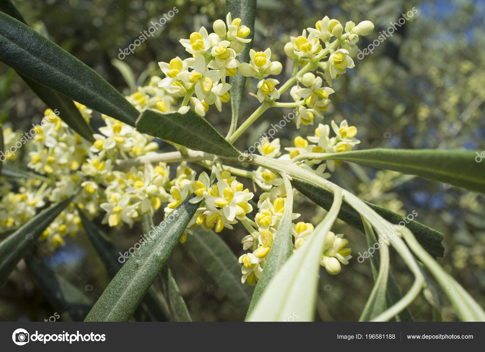 Fiori Ulivo.Olive Tree Bloom Branch Olive Tree Full Flowers Stock Photo