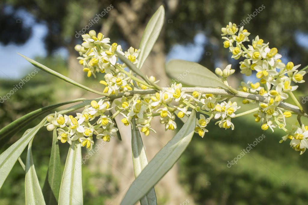 Olive tree in bloom. Branch of olive tree full of flowers