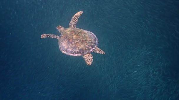 Green sea turtle (chelonia mydas) swims gracefully close to a massive school of sardines.