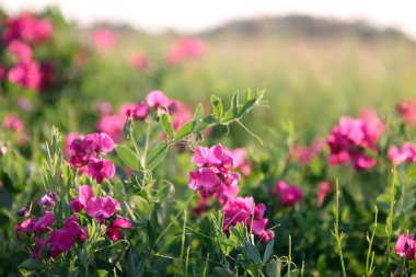 Pink peas in the meadow, summer, lawn under the blue sky