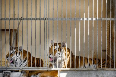 Tigers sitting in cage at zoo, France