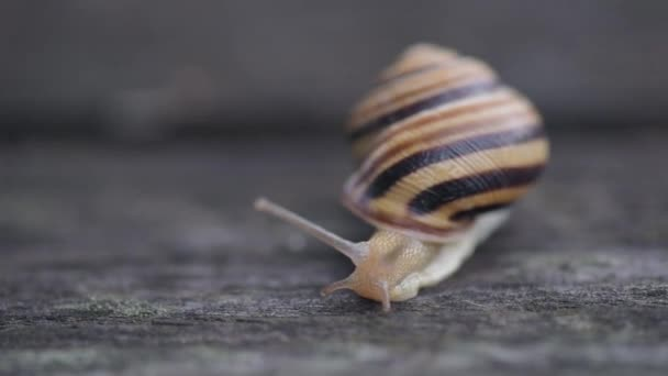 The snail moves on a wooden surface